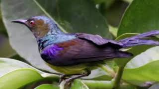 Suara pikat dan masteran burung sogo ontong/srigantil/kolibri_kelapa