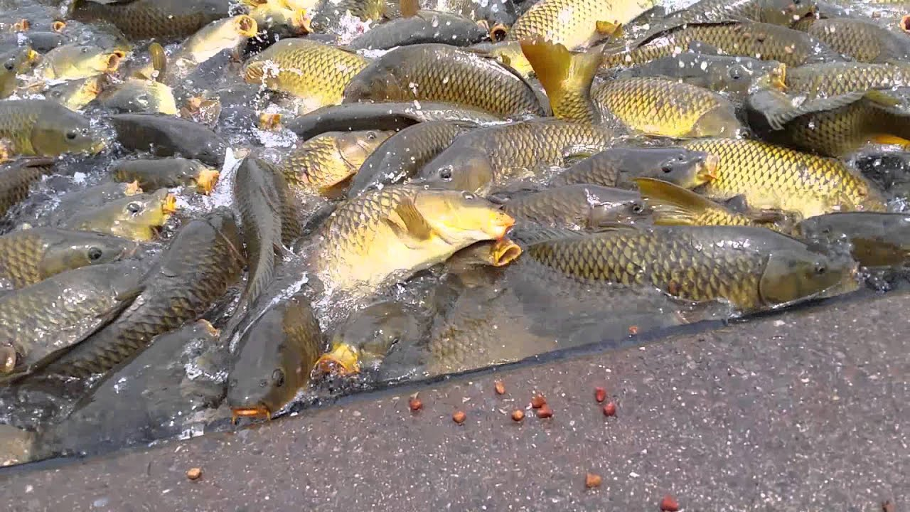 feeding carp at raystown lake 2014 youtube