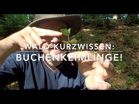 Buchenkeimling! (Wald-Kurz-Wissen)