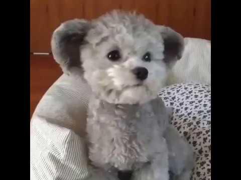 Cute Little Teddybear Puppy