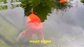 Водоём  на даче. Золотые рыбки вакин.