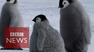 Fake penguin helps researchers - BBC News