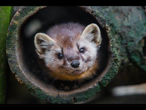 Animal Spotlight: American Marten