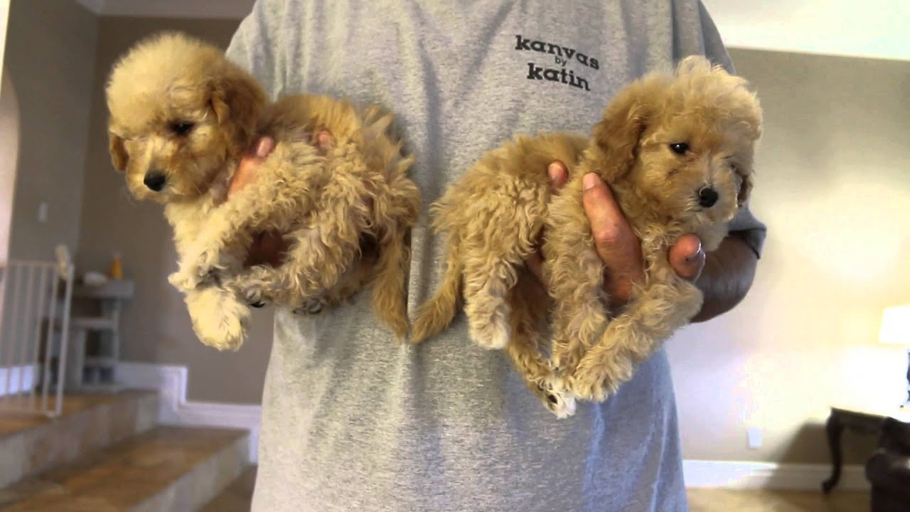 Tropico Kennels F1B Tiny Toy & Micro Mini Goldendoodle Puppies