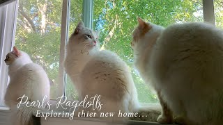 Pearl's ragdolls explore their new home