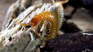 Centipede from Vladivostock with Mite Passangers