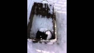 Karelian Bear Dog Bulling Sled #training