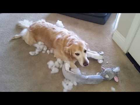 Dog Acting Guilty After Shredding Brand New Stuffed Animal Toy - English Cream Golden Retriever