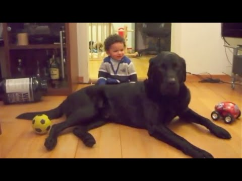Giant Labrador plays gently with baby