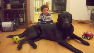 BABY & A HUGE LABRADOR. 90lbs (40kg) black male Lab!