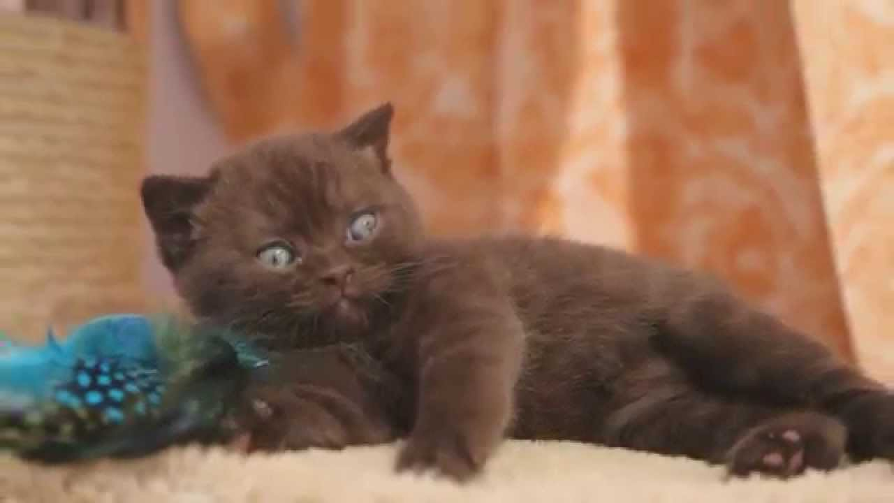 British shorthair rare color kittens Please vote for our