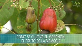 Como se cultiva el Marañon, el fruto de la memoria - TvAgro por Juan Gonzalo Angel Restrepo
