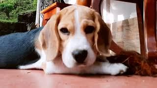 Mr. Hugo 4 Months Beagle