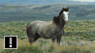 America's Wild Horses Are Under Threat | NBC Left Field