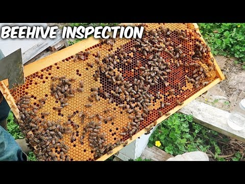 Catching a Bee Hive Before it Swarms - Bee Hive Inspection