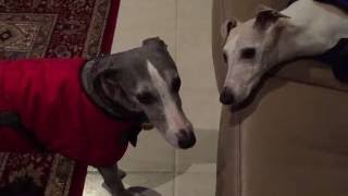 Is this whippet love?