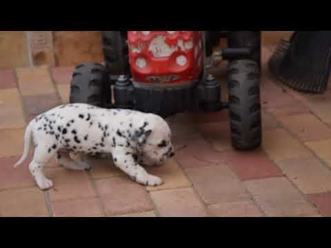 Igrane - Dalmatian Puppy for sale
