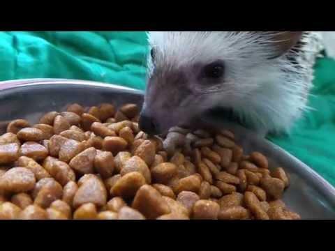 Hedgehog Landak Mini Episode 4 Eating Malaysia Youtube