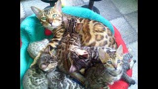 Бенгальские котята и мамочка