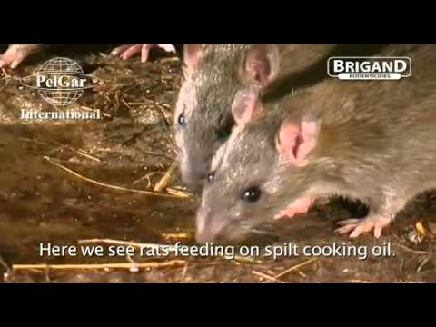 Rat Behavior BEST RATS PEST CONTROL PRACTICE TRAINING VIDEOS