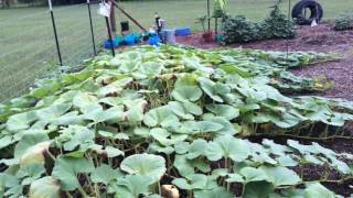 Garden tip, for pumpkins, squash, & gourds.