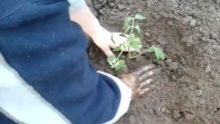 Посадка помидор в открытый грунт.\Planting tomatoes in the open ground.(В этом видео показываю,как я сажаю помидоры. Канал обо всём. Простые и вкусные рецепты, домашние животные,..., 2016-05-14T07:38:22.000Z)