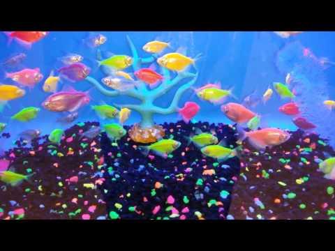 Glofish Neon Tetras Youtube