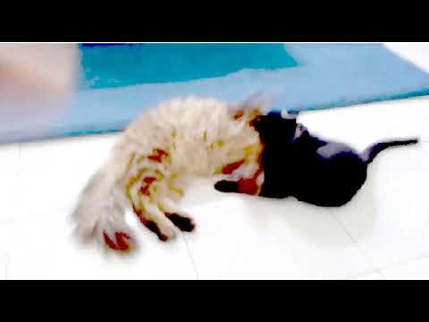 Lucu pertarungan kucing kucing anggora vs kucing kampung
