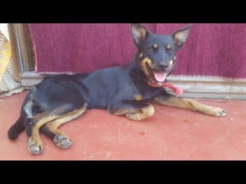 Naughty Sophie the Kelpie Catches a Native Western Australian Stubble Quail