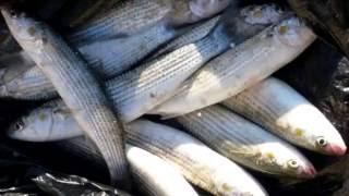 кефаль \\ кефаль польза и вред, кефаль калории, рыба кефаль полезные свойства,