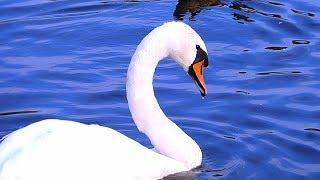 Футаж Лебеди. Красивые Белые Лебеди. Видео для Монтажа. Белые Лебеди Видео. Футажи для видеомонтажа