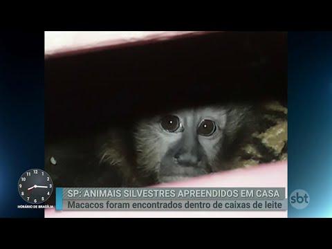 Polícia resgata animais silvestres por meio de denúncia anônima | Primeiro Impacto (07/06/18)
