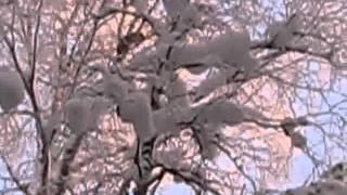 Работа Карело-Финских Лаек по кунице