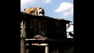 Кошачья оргия