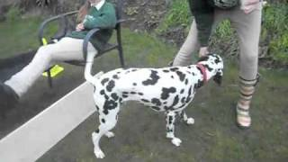 Funny Dalmatian & Silly Horse Riders!