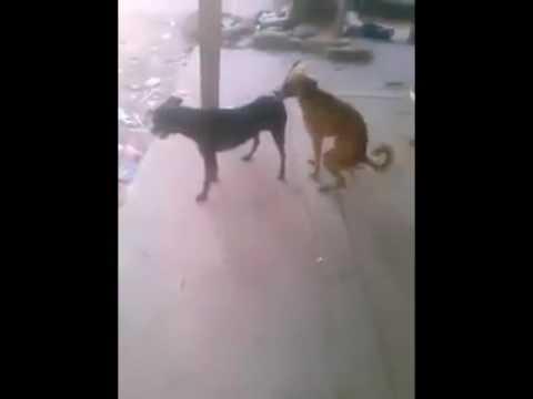 perros bailando reggaeton