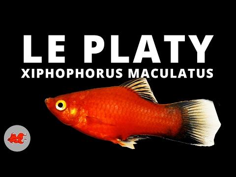 Platy - Xiphophorus Maculatus ✔