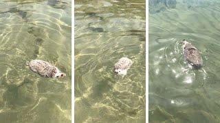ハリネズミのデクスターさん、初めてのビーチでバケーション。そこで見せた渾身の泳ぎっぷり。