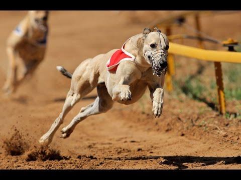 animals Greyhound Dog Breed