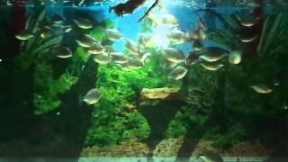 Piranha Makan Kodok di Aquarium