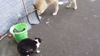 кот бросается на голодную собаку!!!