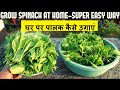 पालक उगाने का आसान तरीका | How To Grow Spinach At Home