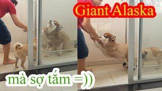 Giant Alaska Sam ăn vạ trốn tắm =)) - Cách tắm khô cho chó Alaska Khổng lồ - PUGK PET