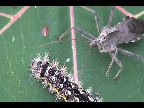 Wheelbug stalks caterpillar