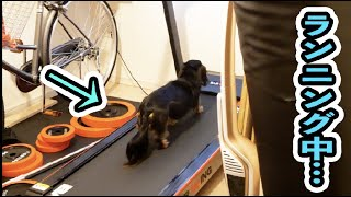 Spirited dog works really hard on a treadmill.