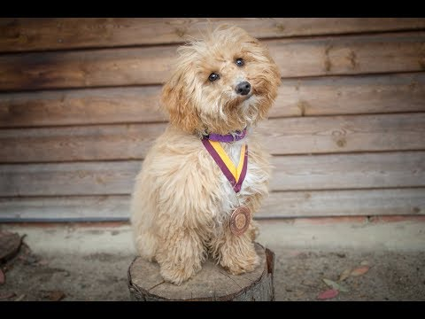 Ruby - Poochon Puppy - 2 Weeks Residential Dog Training