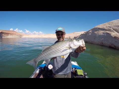 Colorado Wickedfisha- S3E5:  Lake Powell Slayfest For Striper, Walleye, And More