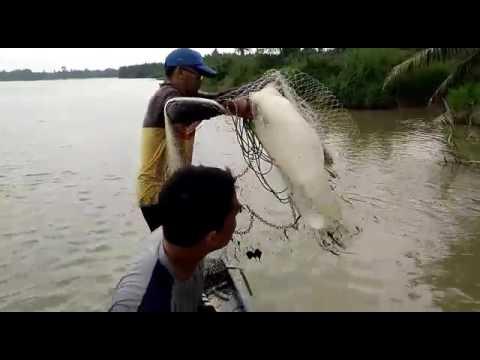 Ikan sungai perak,kg pasir jenderis.