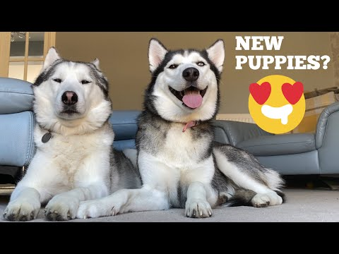 Is Lola Having Puppies? Our Future Plans? Lolas In Season!