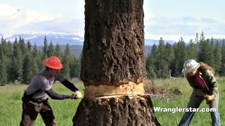 Felling Giant Tree With Crosscut Saw